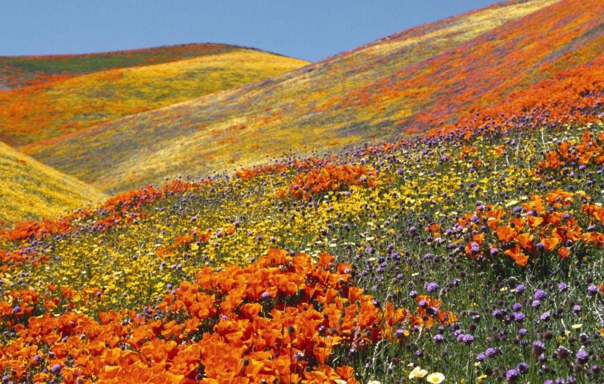 spring wildflowers in antelope - photo #28