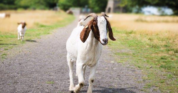R Goats Good Pets Goats as Pets: ...