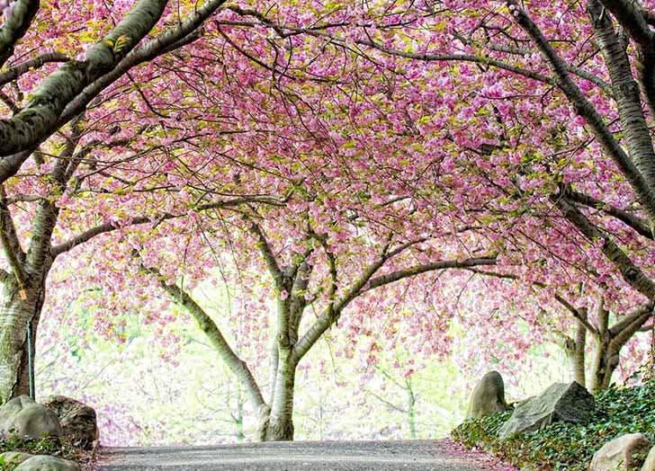 cherry blossoms brooklyn botanic garden NY